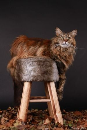 Majestic Main Coon Cat