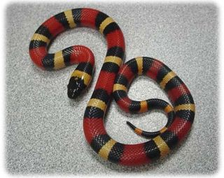 General appearance: Milk snakes are represented by three general pattern types: tri-colored in which the snake possesses bold rings of white/yellow, black, and red/orange, which may or may not extend onto the belly and completely encircle the snake.