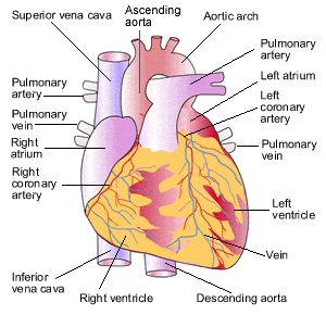 Simple Human Heart Diagram - Health, Medicine and Anatomy Reference Pictures