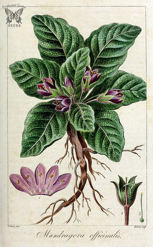 Mandrake. Mandragora officinarum [as Mandragora officinalis] Herbier général de l'amateur, vol. 8 (1817-1827)