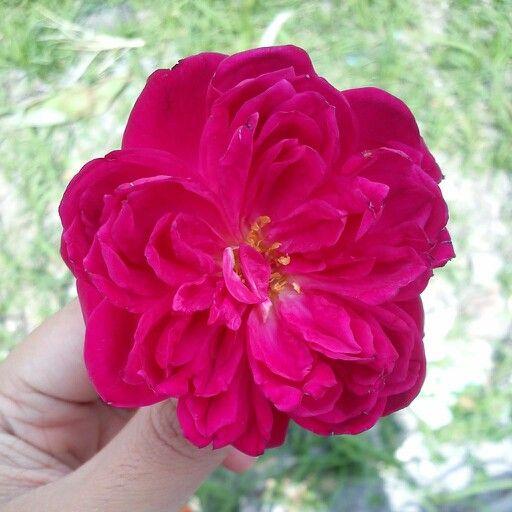 Cute Rose