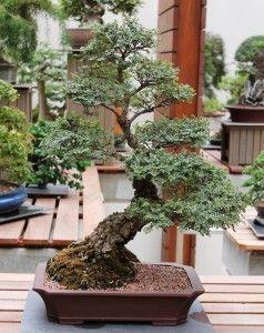 Seiju Elm Bonsai