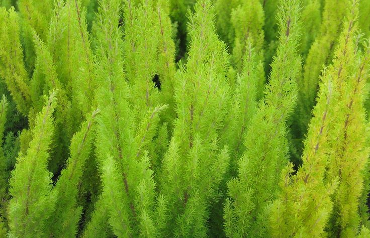 Coniferous lime green