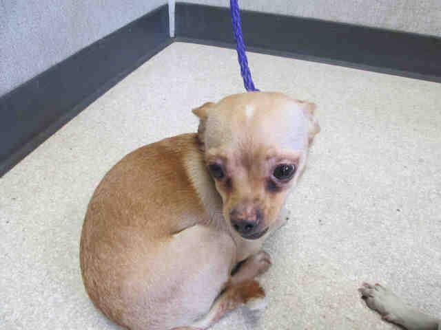 NO INTERESTS in her - CUTIE   Pet ID: A1325447   Sex: F  Age: 4 Years  Color: TAN   Breed: CHIHUAHUA SH - MIX   Kennel: 073   Intake: 5/27/14  OC Animal Care. 561 The City Drive South, Orange, CA. 92868 Telephone: 714.935.6848  https://www.facebook.com/photo.php?fbid=10154255888565223&set=a.10151287465740223.802367.315830505222&type=3&theater