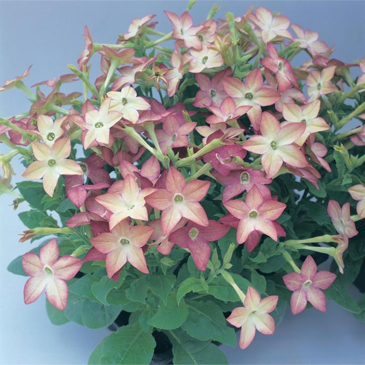 Nicotiana Avalon Lime-Purple-Bicolor. Kuvaus: Runsaskukkainen ja tiivis lajike. Kukka vivahtaa ensin vaalean limenvärisestä roosaan, muuttuen lopuksi tumman roosanväriseksi. Sopii hyvin istutettavaksi ruukkuihin ja esim. kukkapenkkien reunakasviksi. Viihtyy ravinteikkaassa ja hyvin salaojitetussa maassa. Kastele ja lannoita säännöllisesti. Poista kuihtuneet kukat.Yksivuotinen.