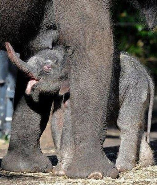 5286 best elephants images on pinterest elephants wild animals elephant baby who could love that face wild animalsbaby publicscrutiny Gallery