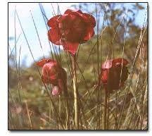 Newfoundlands pitcher plant