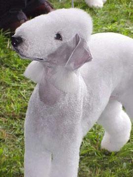 Google Image Result for http://www.dogbreedinfo.com/images11/BedlingtonTerrierTenure99.jpg