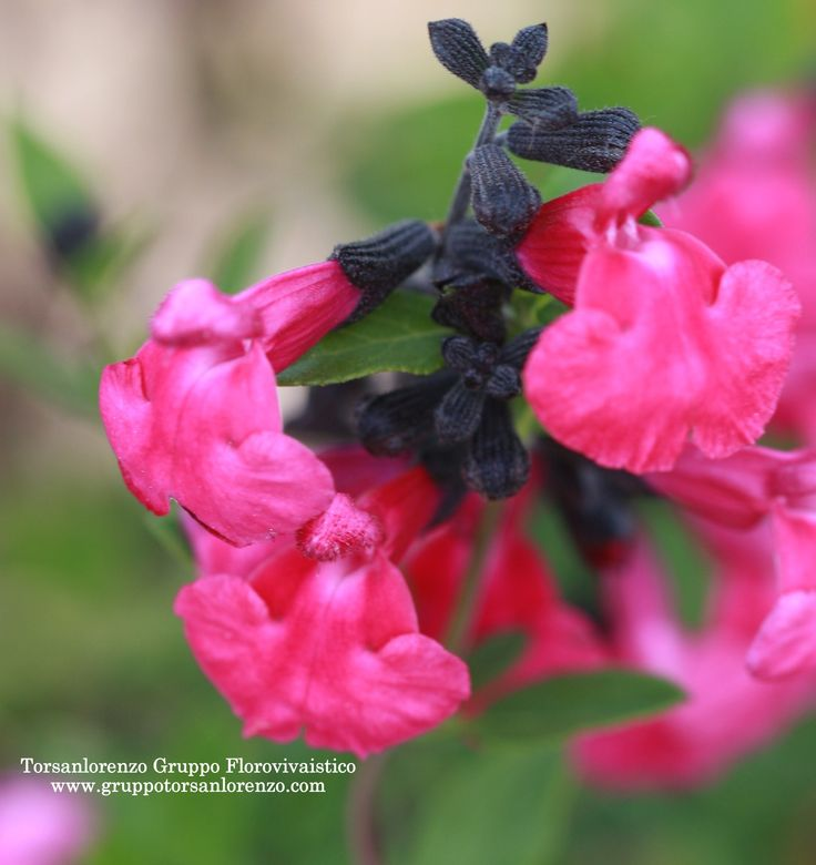 Salvia greggii 'Pink Blush'  #Pink #October #Rosa #mese #flowers