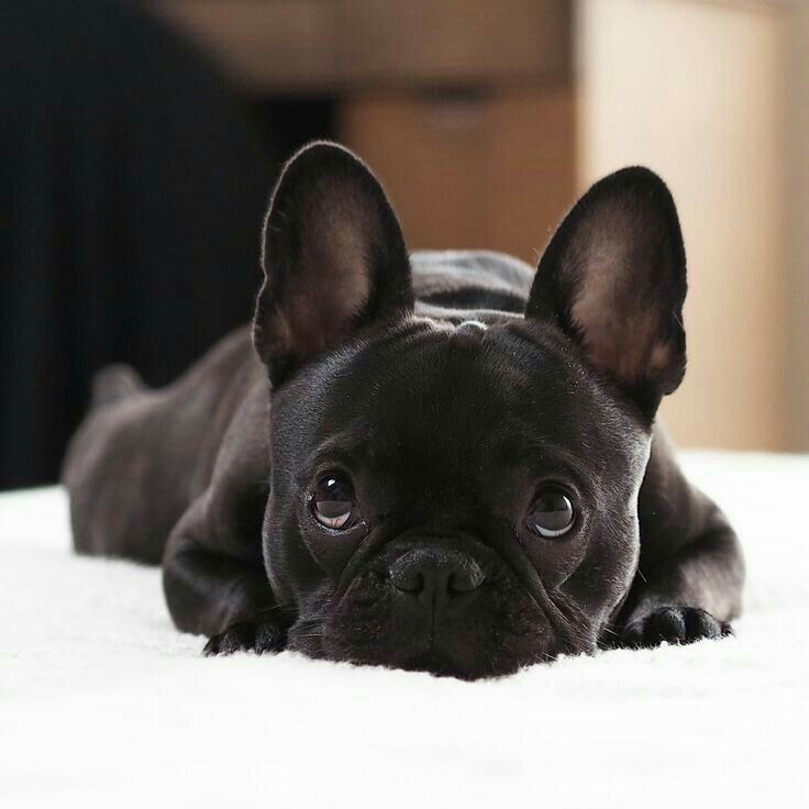 Картинки щенок французского бульдога