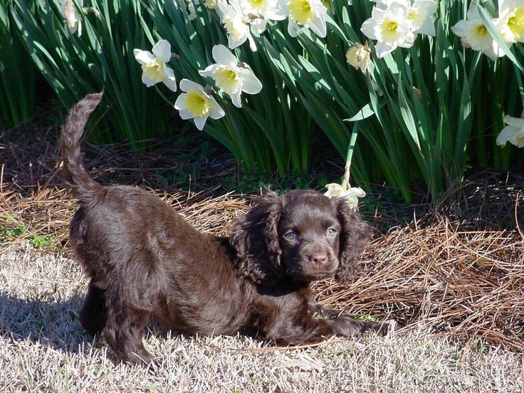 Adorable little american water spaniel puppy american