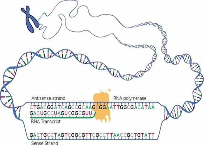 biology dna rna study guide
