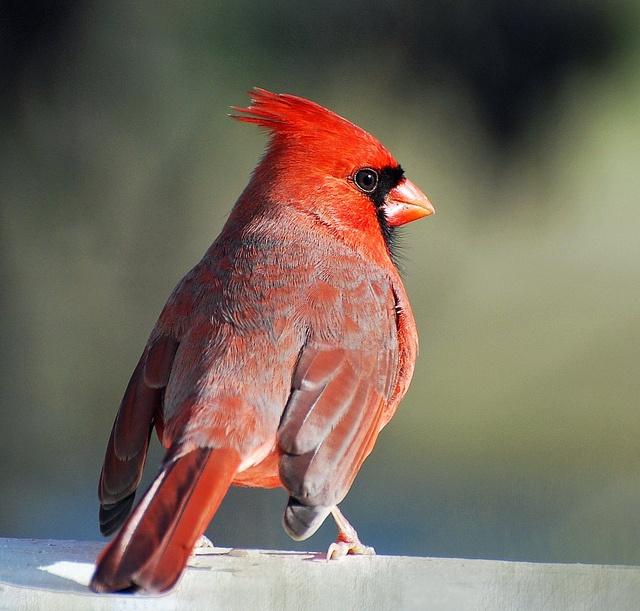 Northern Cardinal backyard, Indiana   Birds   Pinterest