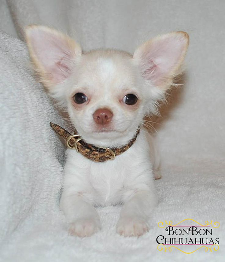 newborn teacup chihuahua best 25 baby chihuahua ideas on pinterest chihuahua 1266