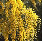 Acacia dealbata mimosa Sweetly scented yellow blooms