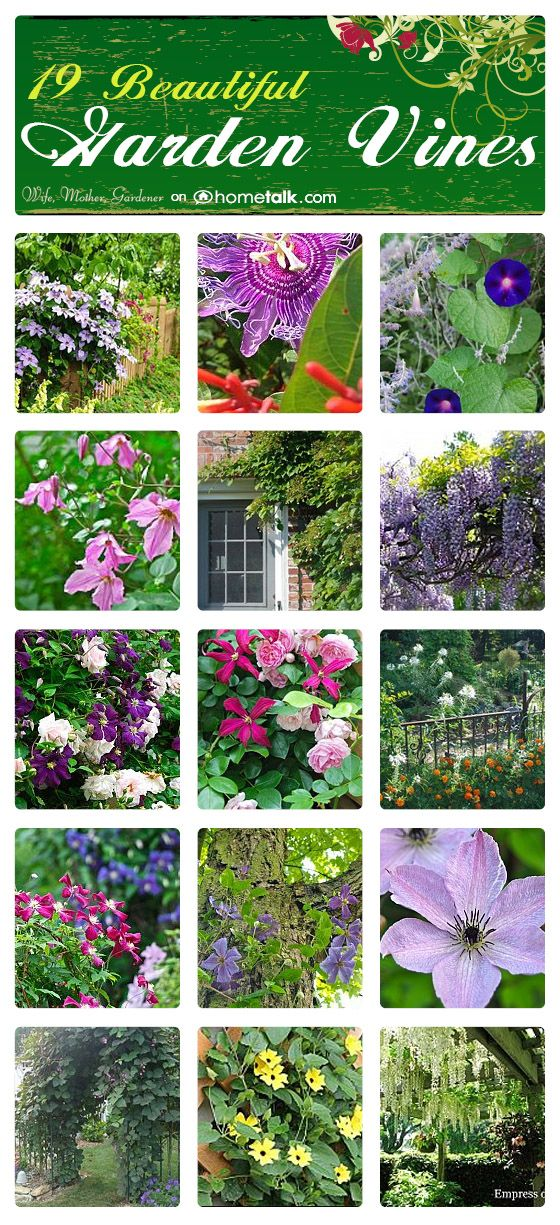 19 Beautiful Garden Vines | curated by 'Wife, Mother, Gardener' blog!