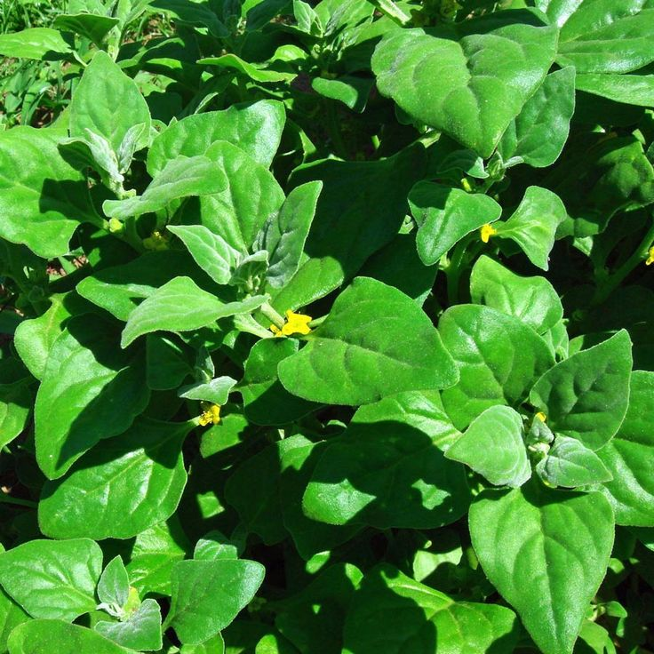 warrigal greens, New Zealand Spinach - warm season alternative to regular spinach that does well in hot, dry conditions. Regular spinach goes to seed and becomes bitter during warm summer months. This spinach is valued because of its high vitamin A, vitamin B2 and vitamin C content.