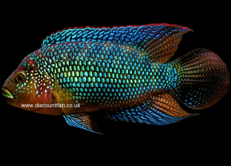 Jack dempsey fish google searchblue acara cichlid for Jack dempsey fish