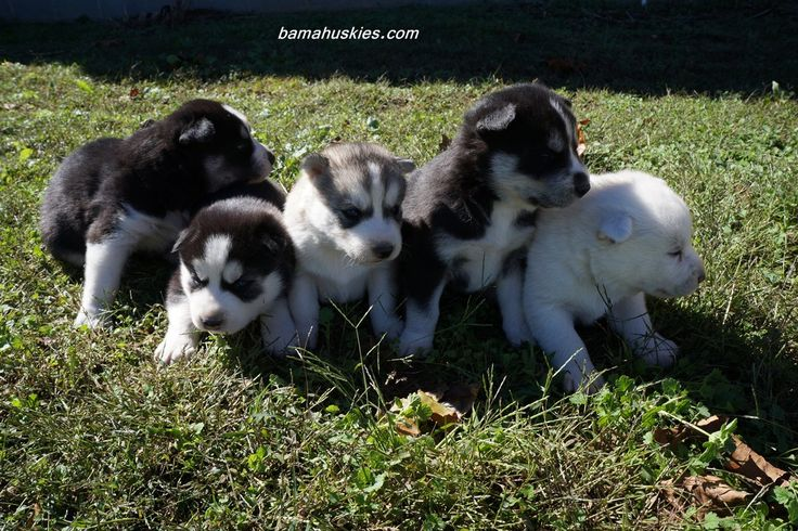 Jordan's Husky Puppies 3 Weeks Old « Husky Puppies For
