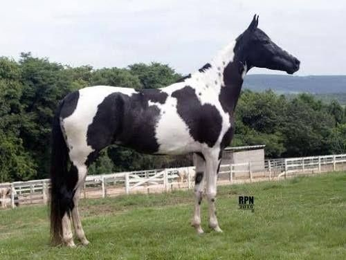 Cobertura do famoso mangalarga paulista - Cavalos - Santana, São ...