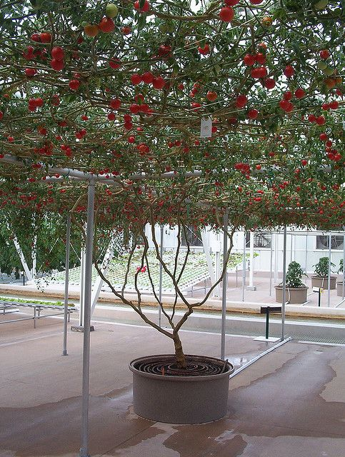 Tomato growing overhead on a walk-under trellis (arbor) at epcot center.