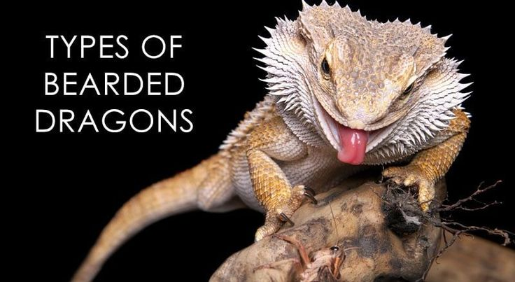 TYPES OF BEARDED DRAGONS – The Bearded Dragons are known to be some incredible reptiles, but as you can imagine there are lots of species out there. With that in mind, on this page, you can find out more about species, colors, types and any other relevant information you may want to know when it comes to ... Read more