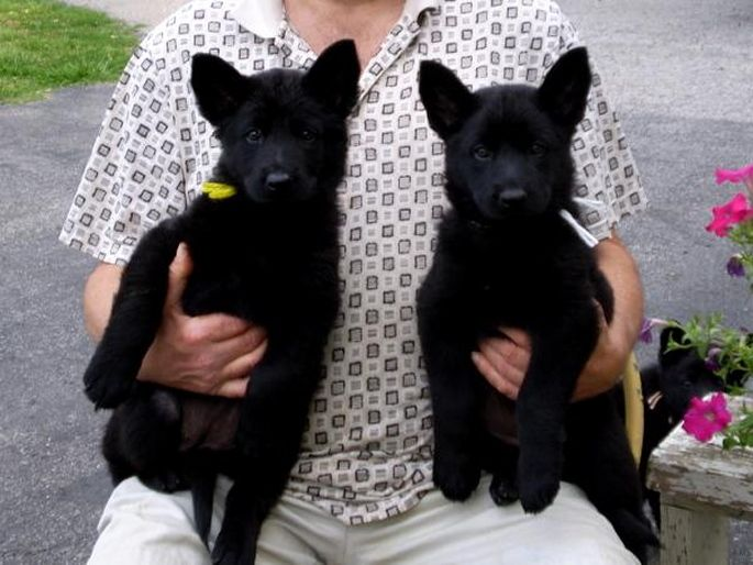 Little black german shepherd pups...soon we will look to add an addition to our family.