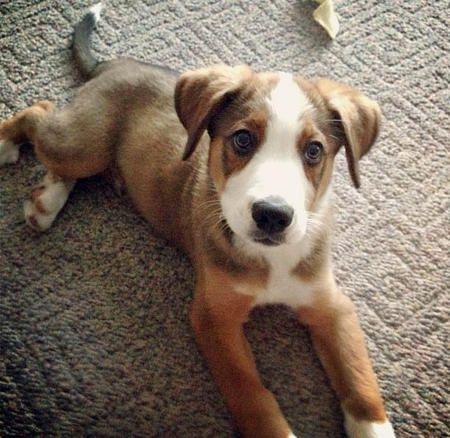 Diesel the Border Collie Mix -- Puppy Breed: Bernese Mountain Dog / Border Collie