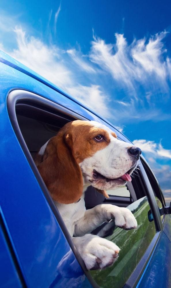 Beagles that love road trips (and don't they all?) deserve the best Beagle dog name which can be found here... http://www.dog-names-and-more.com/Beagle-Names.html