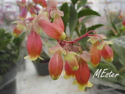 Cacto-pendente ( Kalanchoe mangini) Crassulaceae Herbácea suculenta, perene, florífera, ramificada. Originária de  Madagascar. Folhas opostas, lisas, espessas, com margens  crenadas. Inflorescência terminal em panículas ralas de hastes  avermelhadas. Flores tubulosas, pendentes, avermelhadas na  base e amareladas no ápice.
