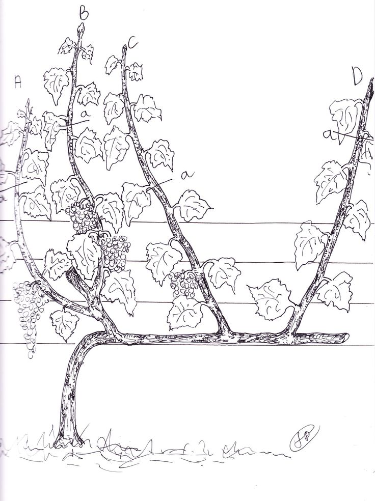 1000 ideas about taille de la vigne on pinterest comment tailler la vigne fruit trees and - Taille de la vigne video ...