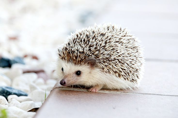 10 Things You Didn't Know About Hedgehogs