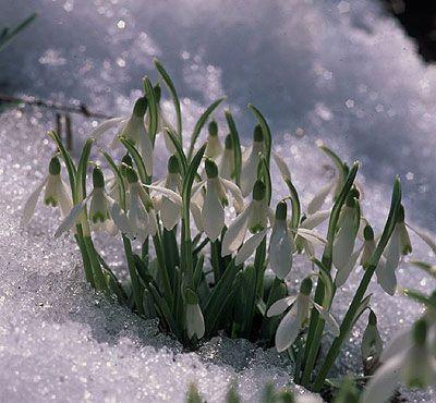 Snowdrops (Gaultheria procumbens)