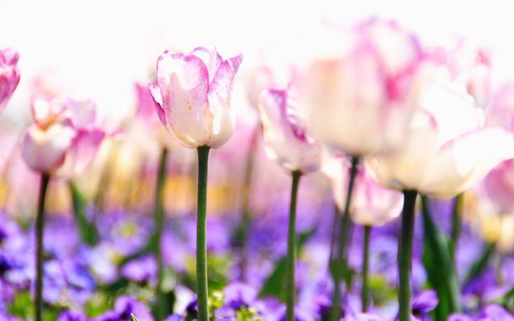 поляна, фиолетовые, тюльпаны, бутоны, стебли, нежность, растения, свет, белые…