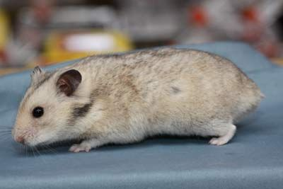 Sepia coloured Syrian Hamster