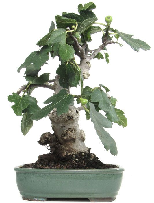 Name: Ficus carica Age: ca. 15 years Height: ca. 36 cm 	 http://www.bonsai.de/shop/bonsai-kalthaus-k021-c-51_58_630.htm?&language=en
