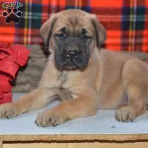 English Mastiff Puppy in Millersburg, OH