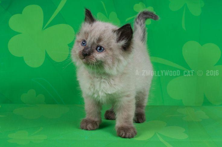 2016: Dino A Zwollywood Cat. 6 Weeks old Ragdoll kitten, seal colourpoint. Flintstones litter.