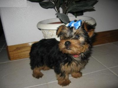 TeaCup Yorkie puppies for Loving Homes. Adorable Yorkie Puppies For Free Adoption i have nice baby face Yorkie Puppies For Free Adoption They are 12 weeks old.