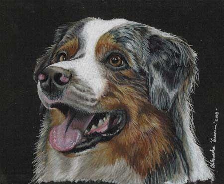 Colored Pencil Australian Blue Merle Shepherd Dog Drawing.