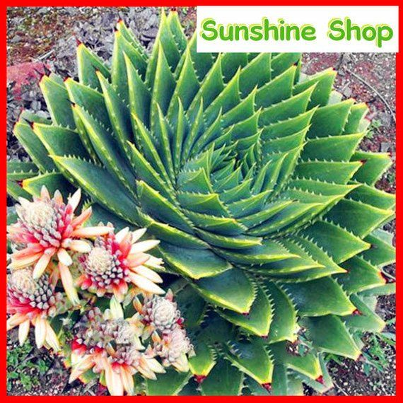 5pcs Aloe Seeds Aloe Polyphylla Succulent Plant Seeds Bonsai Seeds