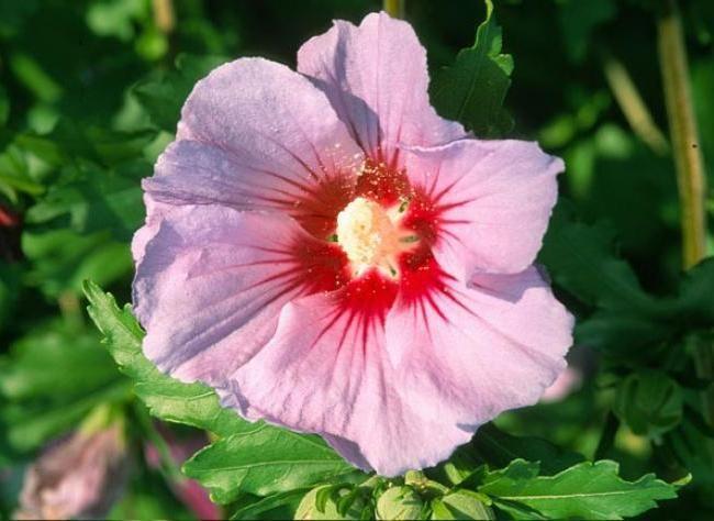 Bouturer l'althéa Les hibiscus (Hibiscus syriacus) forment de grands arbustes très florifères en automne. La multiplication par bouturage ne pose pas de problème particulier. Opérez juste avant l'arrivée des grandes chaleurs estivales.