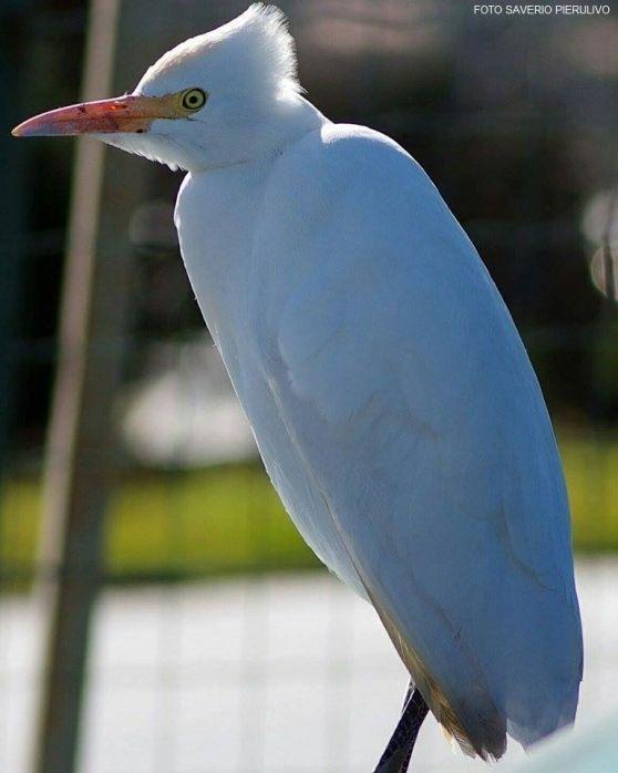 L'uccello dalle piume bianche e il lungo becco giallo è nella zona umida da alcuni giorni