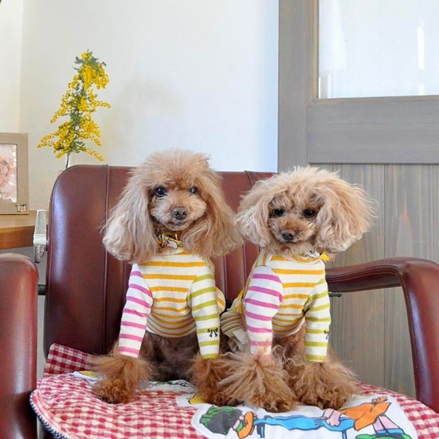 #nakkuに来たよプレゼントキャンペーン に参加させていただきま〜す💝  #トイプードル #トイプードル大好き #トイプードルレッド #トイプードル親子 #親子犬 #toypoodle #poodlelove #愛犬 #nakku  #ハンドメイド #ハンドメイド犬服 #犬服 #handmade #クレイジーボーダー #yukariscollection