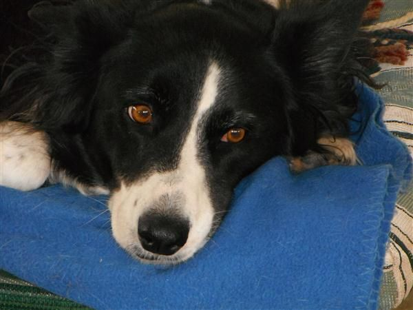 Lily - one of my beautiful Border Collies