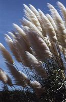 Ornamental grasses create a softer privacy screen than a fence or evergreen hedge.