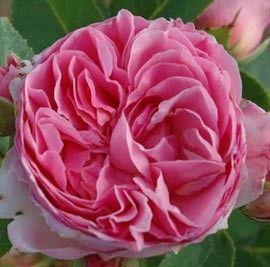 ROSIER GENEROSA® 'VICOMTESSE DE CUREL®' - Rosier buisson très remontant et parfumé (rosa centifolia, lilas blancs, gingembre) Pour massif, isolé et fleur coupée.