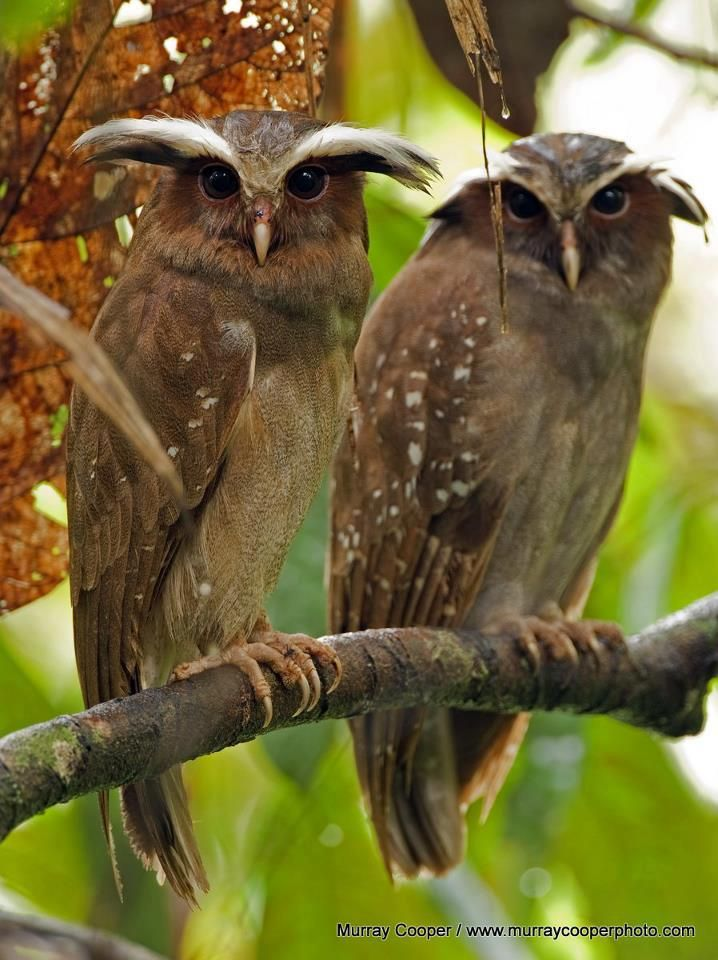 Crested Owls photographed by Murray Cooper in Ecuador.