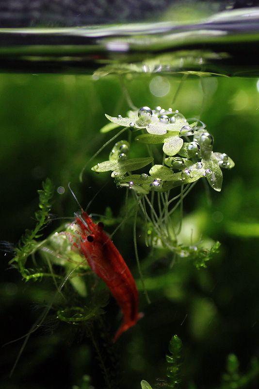 1343 best Fresh Water Shrimp images on Pinterest ...Freshwater Shrimp Pet
