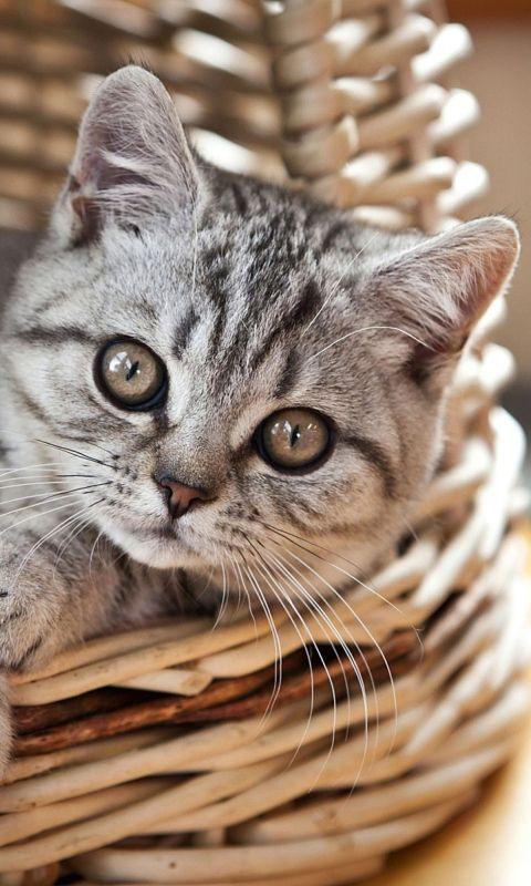 Cat in Basket wallpaper 480x800